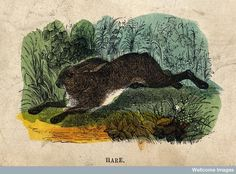 Misquotation: 'First catch your hare' #hare #animals #vintage #Wellcome (Image: Creative Commons via @Wellcome Images)