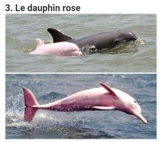 Et oui le dauphin rose existe
