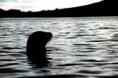 A Sea Lion in Post Office Bay, off Floreana Island Galapagos Islands, Ocean, Sea Lions, Post Office, Animals, Swimming, Spaces, Pretty, Travel