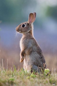 Rabbit at Pegsdon Bedfordshire.Rabbit at Pegsdon Bedfordshire. Cute Baby Bunnies, Cute Baby Animals, Funny Animals, Wild Bunny, Wild Rabbit, Pet Rabbit, Forest Animals, Nature Animals, Animals And Pets