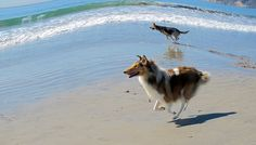 Fish Eye Beach © Janet Wall, at HowtoLoveYourDog.com, via Flickr  #beach #water #dog #collie #dogs #rough