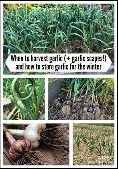 When To Harvest Garlic (And Garlic Scapes) And Store It For The Winter When To Harvest Garlic, When To Plant Garlic, Veg Garden, Edible Garden, Lawn And Garden, Garden Gate, Broccoli Plant, Harvesting Garlic, Gardens
