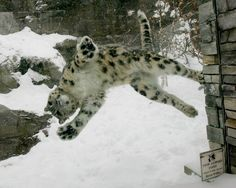 jaguar loves snowball