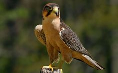Bird of Prey.