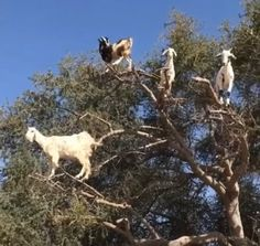 I always wondered where goats came from! Eu sempre me perguntei de onde vieram as cabras! Baby Animals Pictures, Funny Animal Pictures, Cute Funny Animals, Funny Cute, Animals And Pets, Super Funny, Funny Animal Videos, Animal Memes, Baby Goats