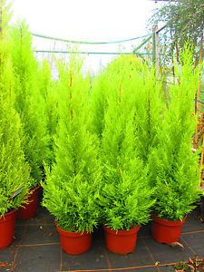 3-5ft-Lemon-Scented-Evergreen-Conifer-Cupressus-wilma-5litre-size.£32 inc p&p. May 2016