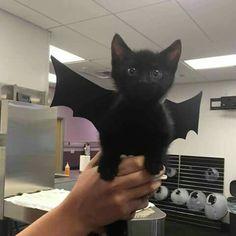 Un murciélago gato volador