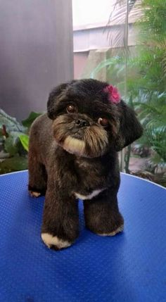 -repinned- Shih tzu lamb cut, teddy bear head (long muzzle) with short ears trimmed in shape of the leather
