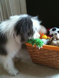 Bearded Collie Puppy - which toy to play with?