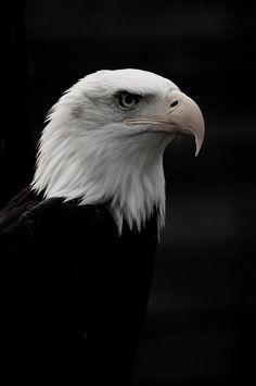 Raptor Foundation: North American Bald Eagle by --CWH--, via Flickr