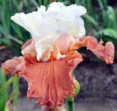 TB Iris germanica 'October Dreaming' (Blyth, 2014)