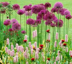 Create long-lasting, pleasing contrasts in your garden. In this sunny border, the striking and architectural, ball-shaped, violet-lilac blossoms of Allium hollandicum 'Purple Sensation' (Ornamental Onion) look fantastic popping up through the lower-gr Blue Garden, Colorful Garden, Autumn Garden, Summer Garden, Asian Garden, Lilac Flowers, Big Flowers, Rabbit Garden, Lilac Blossom