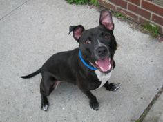 GONE --- TO BE DESTROYED 5/1/14 Brooklyn Center   My name is MIKE JACK. My Animal ID # is A0997742. I am a neutered male black and white pit bull and labrador retr mix. The shelter thinks I am about 9 MONTHS old.  I came in the shelter as a OWNER SUR on 04/25/2014 from NY 11365, owner surrender reason stated was NO TIME.