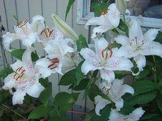 """""""Muscadet"""" lilies"""