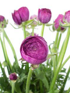 Lila Ranunkeln der Sorte 'Purple Jean' - mehr entdecken auf Blumigo.de! Lila Blumen für die Hochzeit mit Saison im Januar, Februar, März, April und Mai. Violette Blumen. Violette Ranunkeln #schnittblumen #blumen #hochzeitsdeko #hochzeitsblumen #ranunkeln #hochzeit #weddingflowers #ranunkulus