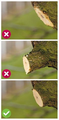 The right cutting technique: Please use only sharp tools, so that a straight, clean wound is created. The cut should not be too close to the s … - Alles über den Garten Bonsai Tree Care, Bonsai Art, Bonsai Garden, Garden Plants, Pruning Fruit Trees, Tree Pruning, Plantation, Edible Garden, Growing Plants