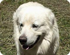 10/3/15 Allentown, PA - Great Pyrenees Mix. Meet HENRY, a dog for adoption. http://www.adoptapet.com/pet/13951271-allentown-pennsylvania-great-pyrenees-mix
