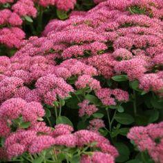 Sedum 'Herbstfreude' Red Robin, Past Love, Cactus, Garden Inspiration, Backyard, Flowers, Plants, Beautiful, Gardening