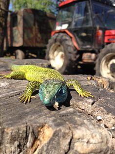 Lizard in Slovakia