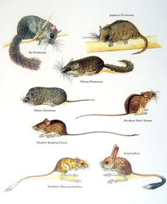 Mouse Print - Fat Dormouse, Japanese Dormouse, Great Jerboa, African Dormouse - Vintage Animal Book Plate Page Degu, Animals Of The World, Animals And Pets, Cute Animals, Reptiles And Amphibians, Mammals, Red Kangaroo, Beast Creature, Quokka