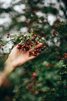 Foraging for hawthorn berries - The Wild Dyer Hygge, In Natura, New Energy, Wild Nature, Country Life, Wattpad, In This Moment, Creative, Instagram