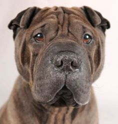 Chino is on Petfinder not PAWS but I love his face and the eyes make me melt. Chino is an adoptable Shar Pei Dog in Chicago, IL. Chino is an extremely friendly, sleek and healthy, three-year-old, 40-pound, male, purebred dark chocolate Shar Pei looking for a loving home. Chino ...