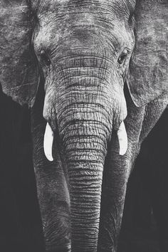 Find images and videos about cute, black and white and nature on We Heart It - the app to get lost in what you love. Image Elephant, Elephant Love, Elephant Art, Elephant Images, Elephant Photography, Wildlife Photography, Animal Photography, Elephant Black And White, Animals Black And White