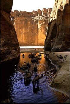 Los camellos descansando en la sombra en Guelta d'Archéï aguas en el norte-este de Chad.
