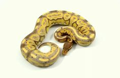 Cinnamon CG from balls 2 the wall reptiles Pretty Snakes, Cool Snakes, Ball Python Morphs, Reptiles And Amphibians, Masters, Balls, Cinnamon, Exotic, Marvel