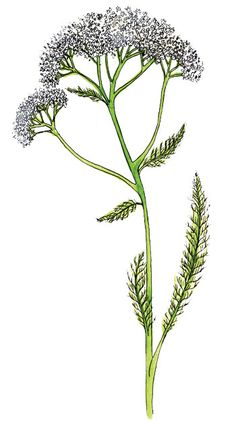 We'll show you how to make a natural insect repellent remedy with yarrow, an amazing natural insect repellent.
