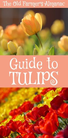 The Complete Old Farmer's Almanac guide to Tulips: how to Plant, Grow and Cultivate Tulips from The Old Farmer's Almanac.