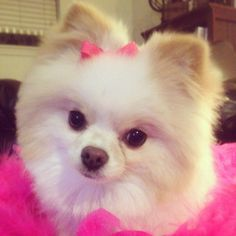 White Pomeranian  her bow is too cute!