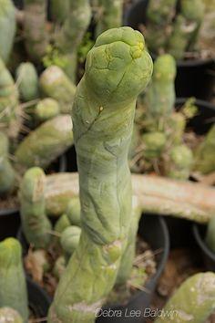 Lophocereus