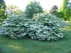 Viburnum plicatum f. tomentosum 'Shasta' Shasta Doublefile Viburnum on PlantPlaces.com