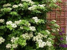 Climbing Hydrangea.  Vigorous, climbing vine, clings to surfaces by aerial rootlets. Slow-growing shrubby habit until established, then long stems are produced. Fast-growing stems 60 to 80 ft. long.  Partial to full sun. White flowers bloom in summer. Very clingy, doesn't need lattice.