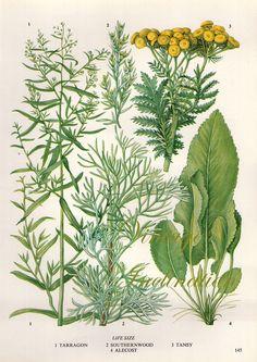 HERBS Vintage Botanical Print Antique, plant print 145 botanical print, bookplate art print, herb plants plant wall print