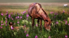 Horses Red Mare And Foal Meadow Flowers Hd Wallpaper4829