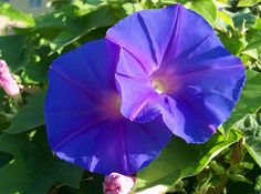 These morning glory flowers grow wild here in Houston. They twine around trees and fences.