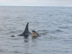 Awe...Take a Look at the new Baby Orca in L Pod!! http://www.king5.com/story/news/local/seattle/2015/03/05/new-baby-orca-other-discoveries-for-team-tracking-whales/24453895/