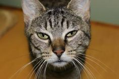 Alyssa is an adoptable Domestic Short Hair Cat in Chelmsford, MA.   Are you ready to meet the love of your life? Pets In Need Animal Resue seeks people with the kindness, time, and sense of responsibi...