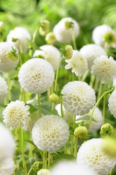 Shop for Wilko Dahlia Snowflake Spring Planting Bulb 1 pack at wilko - where we offer a range of home and leisure goods at great prices. White Dahlias, White Flowers, Dahlia Flowers, Moon Garden, Dream Garden, Planting Bulbs, Planting Flowers, White Plants, White Gardens