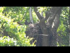 6/7/16......Video taken from the Three Rivers Heritage Trail the first week of June 2016 of the two Hays Nest fledglings testing the waters in preparation for their firs...