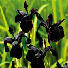 Iris chrysographes black form