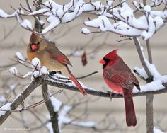 Inspiration for boys' bathroom -- Cardinals in snow