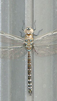 Pinner said: My dragonfly that was on my door when I got home from work, stayed long enough for me to take a bunch of pics. HOW FABULOUS! (They are supposed to bring much luck, so . Flying Insects, Bugs And Insects, Beautiful Bugs, Beautiful Butterflies, Beautiful Creatures, Animals Beautiful, Horse Caballo, Cool Bugs, Dragonfly Wings