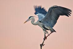 image::Georg_Scharf_vogel_wildlife_rhonedelta_reiher_frankreich_graureiher_camargue.jpg (1000×667)