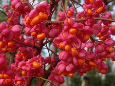 Euonymus 'Red Cascade' orange and red berries Plant Design, Garden Design, Fall Fruits, Garden Deco, Red Berries, Home And Garden, Garden Oasis, Garden Fun, Winter Garden