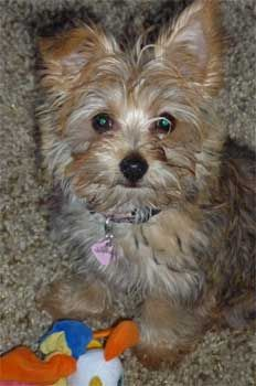 1000+ images about CARKIES on Pinterest | Cairn terriers ...
