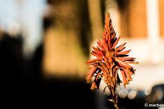 Aloe also has flowers