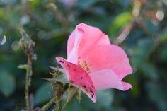 Converging Rays: A pink rose